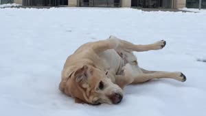 Labrador enjoys the snow - Video