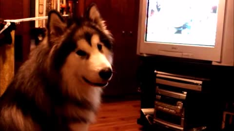 Giant Alaskan Malamute loves watching cartoons