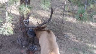 Thirsty bull elk discovers bird bath - decides to enjoy a drink - Video