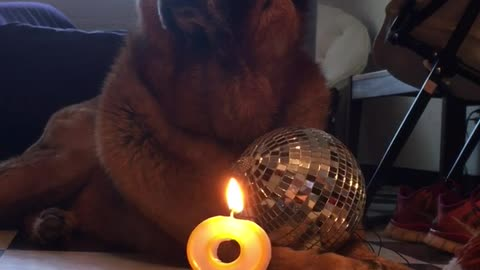 Doggies doesn't know how she feels about turning 8