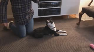 Reluctant Boston Terrier pulls off cutest rollover ever