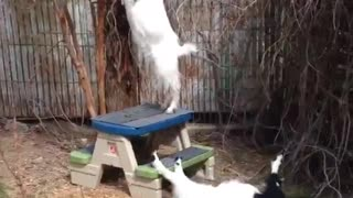 Goat Faints and Falls Off Table - Video
