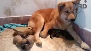 Mother Dog Elated After Reunited With Her Puppies - Video