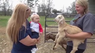 The baby's first acquaintance with the goat - Video