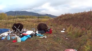 Wild bears absolutely decimate campsite - Video