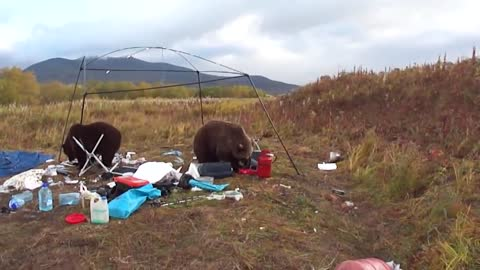 These Wild Bears Just Made Some Camper's Trip A Real Nightmare