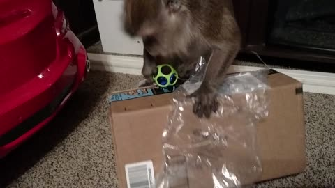 Monkey Goes Ape When Mail Is For Her