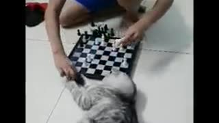cat play chess  - Video