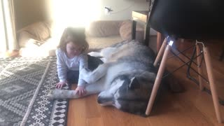 Gentle Alaskan Malamute gives hug to little girl