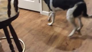 Luna walks backward when called