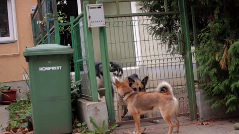 Overexcited Husky and Angry German Shepherd vs. a Relaxed Shiba Inu
