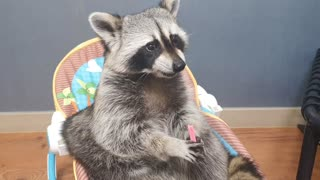 Hungry raccoon enjoys his tasty bubble gum treat