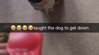 Small pug runs away from loud red toy  - Video