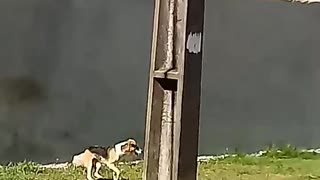 Dog Hops High Wall After Many Attempts