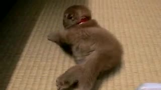 This Adorable Scottish Fold Kitten Will Melt Your Heart With Cuteness! - Video
