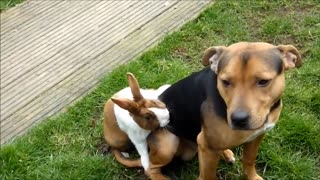 My Rabbit Shagging My Dog in the Garden - Video