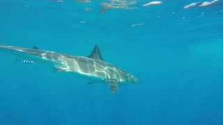 Photographers Get A Chance To Capture Footage Of 20-Foot Great White Shark - Video