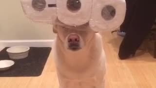 Dog Flawlessly Balances Various Household Objects On His Head