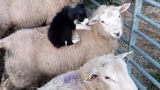 Puppy Playtime with Sheep