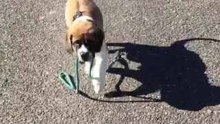 Cute dog walks himself with teal leash