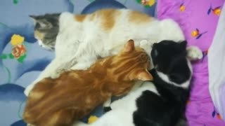 Kitties breastfeeding from mother cat