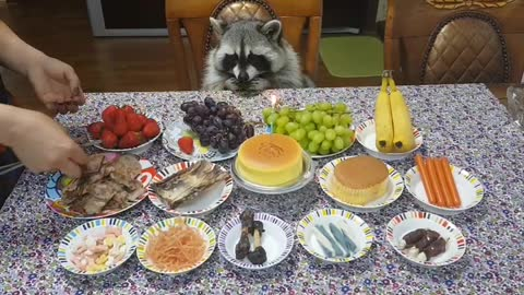 Raccoon celebrates birthday like a king