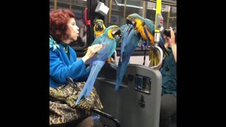 Lady on train subway with four blue yellow parrots birds exotic