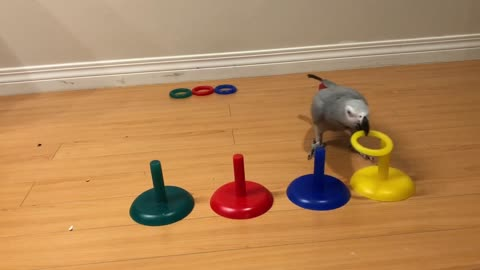 Super smart parrot knows how to match colors