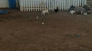 Pug Loves Chasing Chicken