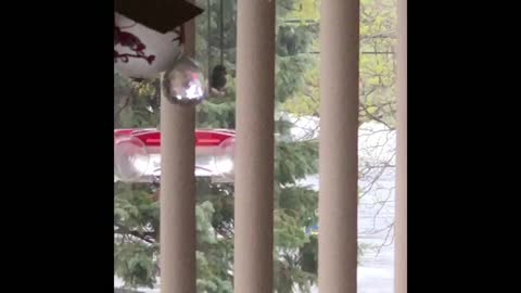 Hummingbird withstands wind gusts of 35mph