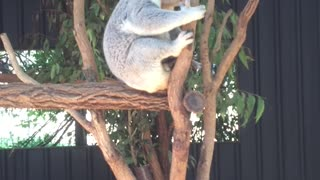 The Sadness of Koala, Koala in a gumtree