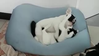 Jealous Frenchie watches puppy and kitty cuddle together