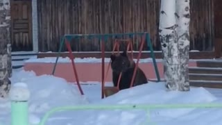 Bear Plays in Swing - Video