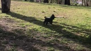 Black dog running around with large stick - Video
