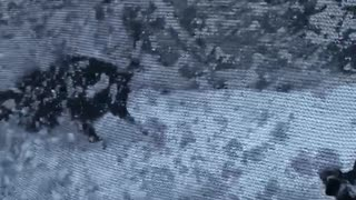 Black dog playing on blue snow covered trampoline