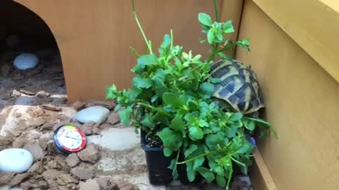 Little tortoise climbs his pansy plant.