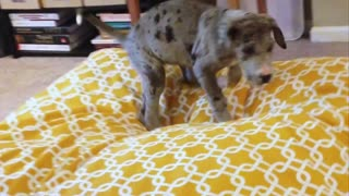 Great Dane Puppy digging the new bed - Video