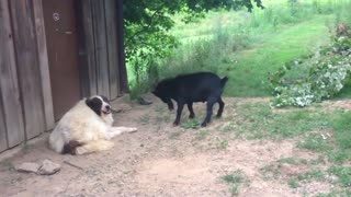 goat teases dog - Video