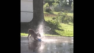 Excited Boxer Dog Plays In Kids' Sprinkler Toy - Video