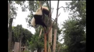 Climbing Panda Gets Stuck! - Video
