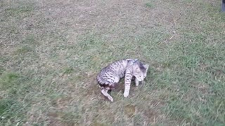 Cat refuses to walk, gets dragged on leash - Video