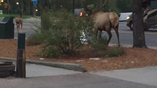 Couple of Elk in Estes Park