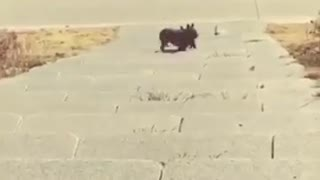 Vibes french bulldog falls down stairs - Video