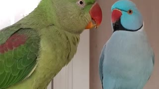Talking Alexandrine Parrot  - Video