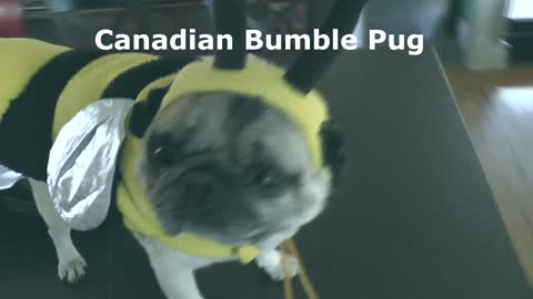 Rare footage released of 'Canadian Bumble Pug'