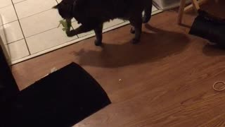 Black cat playing with green toy that makes cricket noises on wood floors - Video