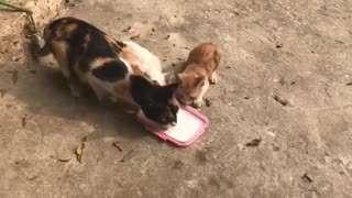 Mother cat and her children drinking milk  - Video