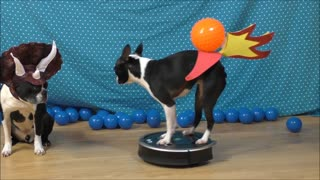 Dog on Roomba reenacts how dinosaurs became extinct - Video