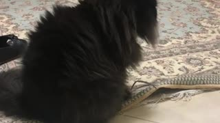 Cat Playing with Carbet - Video