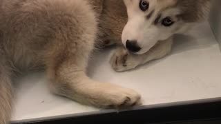 Husky puppy cools down in refrigerator